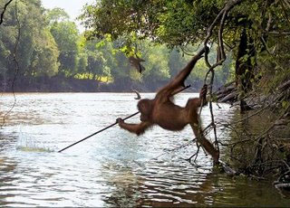 This orangutan photo is from an unknown spot, but it is wild behaviour (found on the delightful Orangutan Photos blog)
