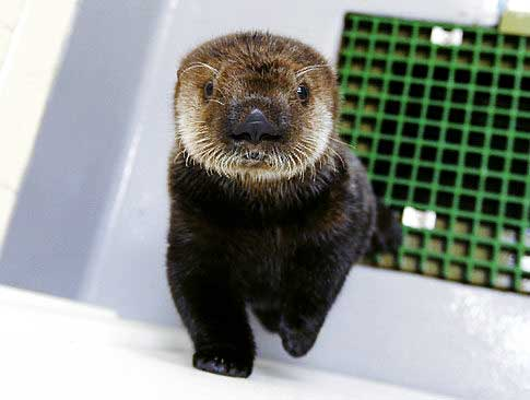 A young otter in a white room with a green wire-mesh window comes forward to look into the camera lens