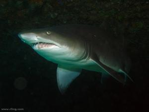 Dentition of a Grey Nurse Shark