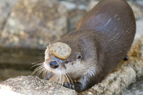An otter in a riverstone environment balancing a small stone on its brow