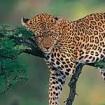 leopard-sleeping