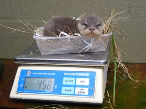 """Small otter sitting in takeaway food tray on digital scales reading """"458 (grams)"""""""
