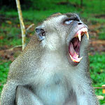 a silver monkey bares its fangs aggressively