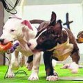 puppies playing with chew-toys inside a miniature football stadium
