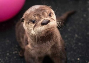 a small otter in a room with a ball behind it, looking not quite at the camera with what appears to be a frown