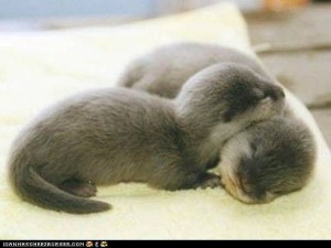 Two baby otters, snuggling
