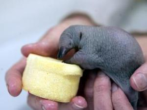 A tiny echidna puggle nuzzles at a sponge full of milk, cradled by a zoo worker's hands