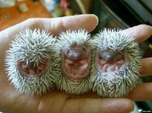 A human hand with open palm has three tiny hedgehog babies resting on it