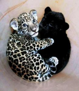 two leopard cubs in a pale pinkish bowl - one is spotted, one is all black