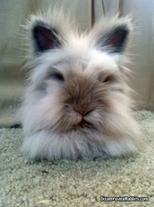 An extremely fluffy brown and grey rabbit facing the camera.
