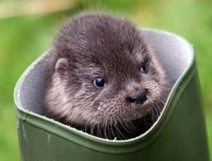 A seven week old Otter explores an old boot at Paradise Park.