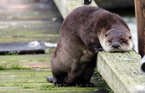 River otter resting its head on a horizontal wooden post.