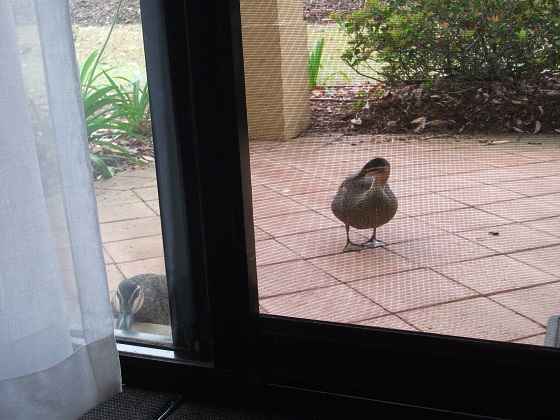 two australian bush ducks peering through a screen door