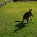 An eastern grey kangaroo with a joey in her pouch (only the tiny head is visible)