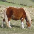 Chestnut Shetland pony grazing.