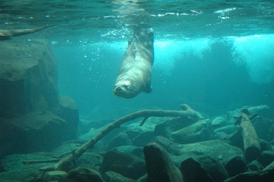 River otter diving below the surface