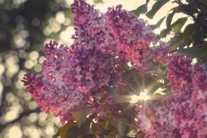 Lilac blooms with the sun shining through them