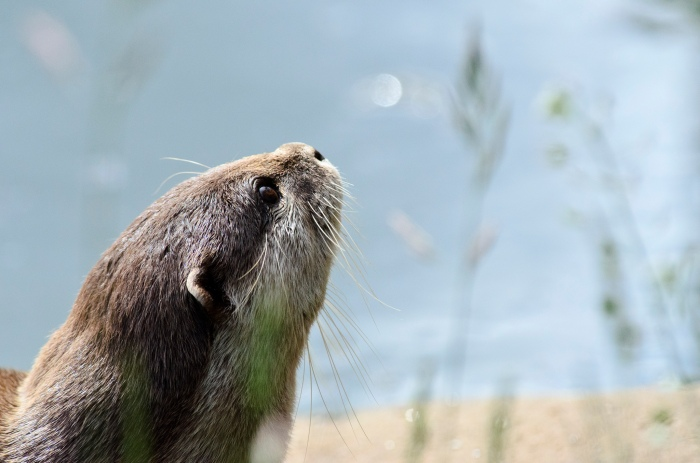 Close-up of an otter staring into a wide hot blue sky