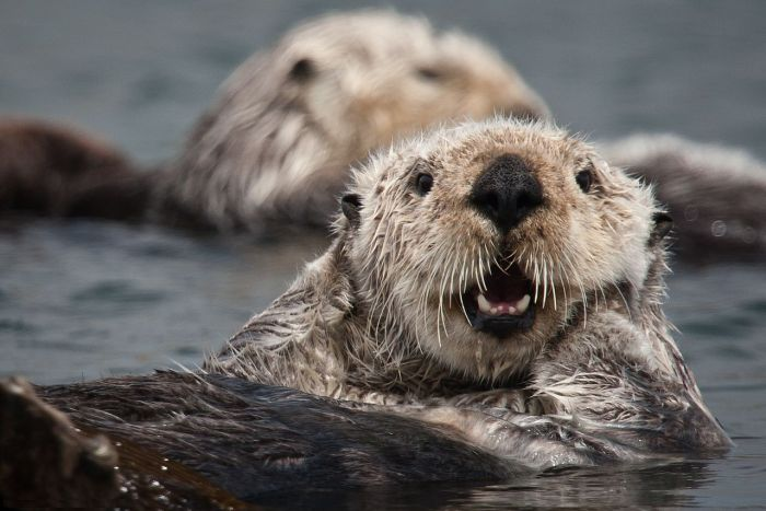 Close up shot of a California sea otter's face