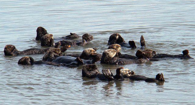 Around a dozen sea otters lying together on their backs in water, basking in the sun