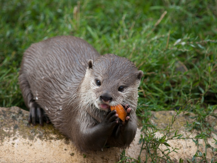 Otter holding a carrot between its paws and eating it.