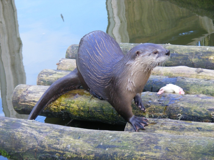 River otter standing on a base of round logs